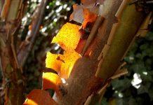hama pohon kayu manis