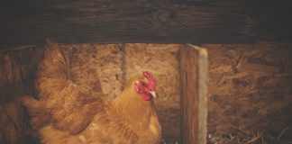 ayam petelur yang ngorok