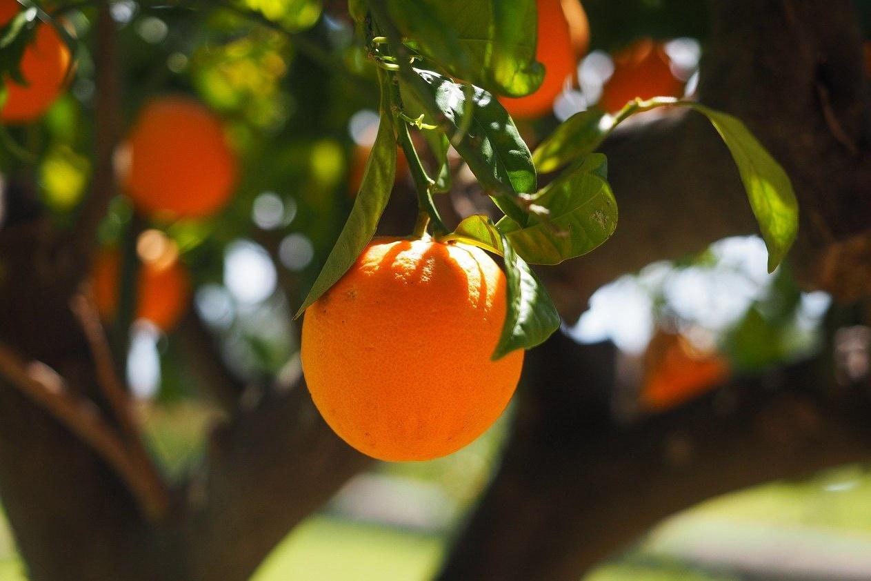 menanam jeruk