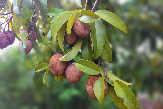 pemangkasan pohon sawo
