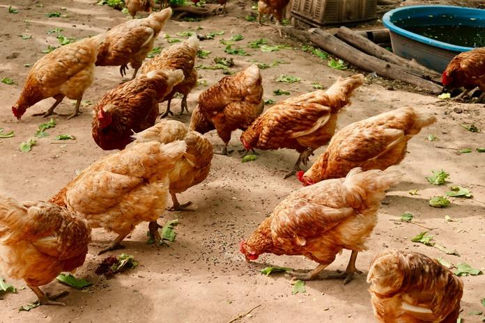 bahan baku pakan ayam