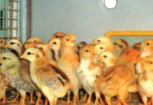 vaksin pada ayam