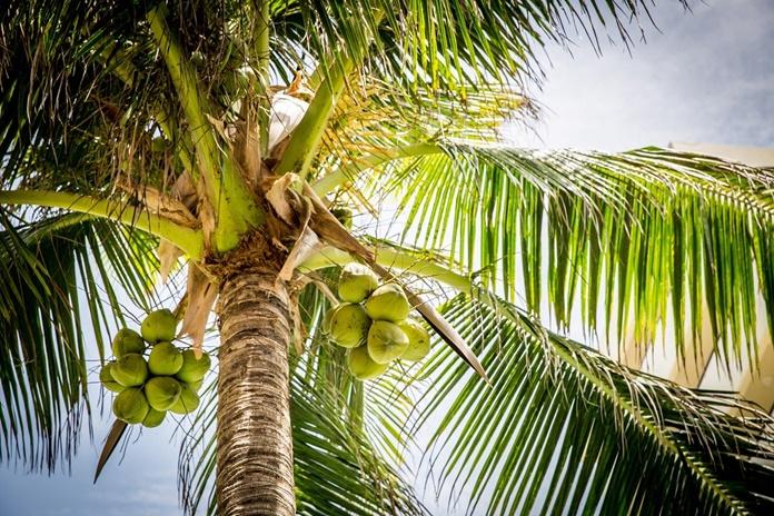 hama pohon kelapa