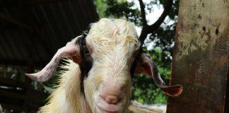 kelompok usaha kambing