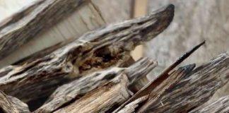 prospek pohon gaharu