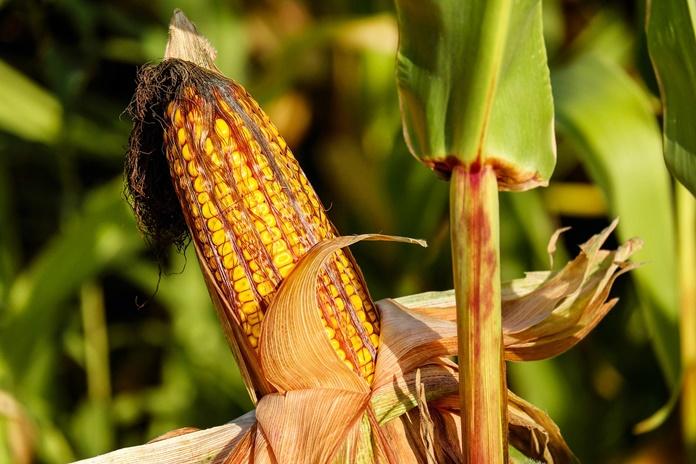 menanam jagung