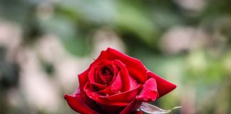 media tanam bunga mawar