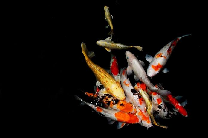pola warna ikan koi