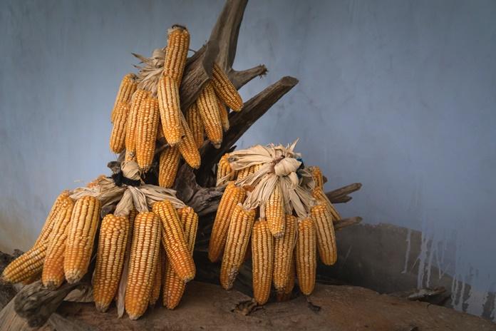 produk turunan jagung