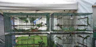 memilih iguanan