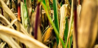 perawatan tanaman jagung