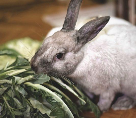 pembibitan kelinci