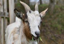 usaha penggemukan kambing