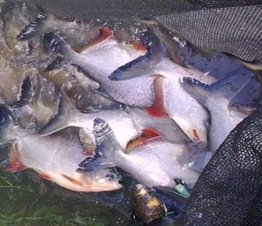 pembesaran ikan bawal
