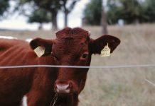 jenis sapi hasil persilangan