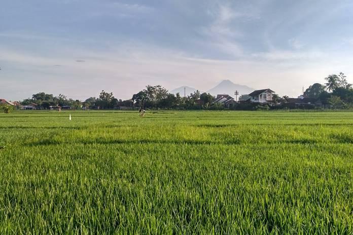 pupuk organik pada padi
