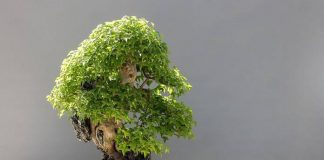 gaya bonsai
