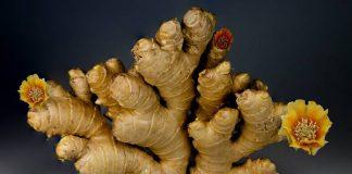 hama tanaman jahe