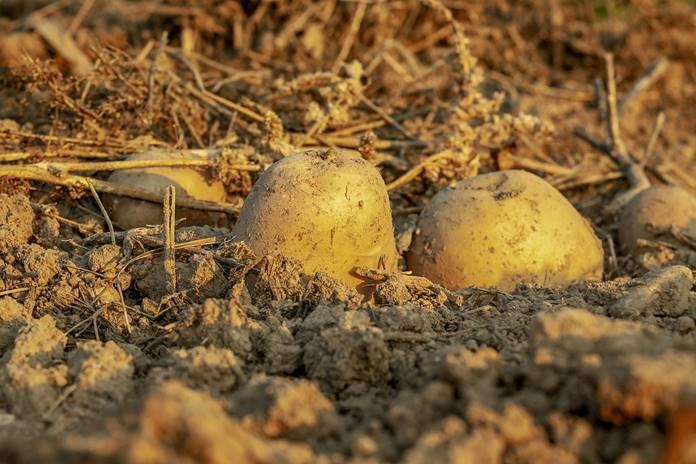 tanaman kentang