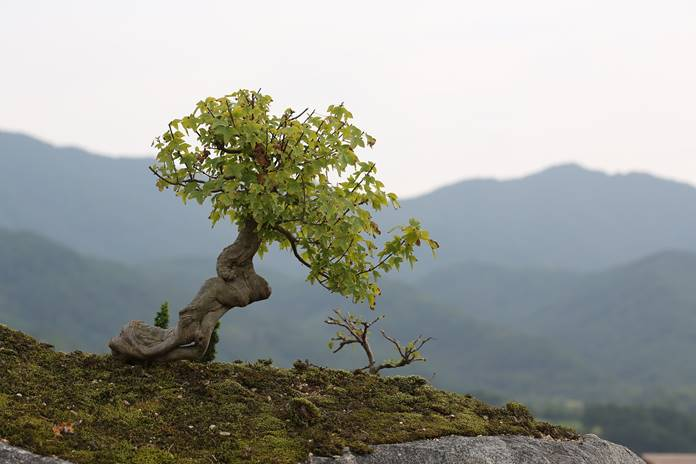 bonsai tunggul