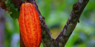pohon cokelat