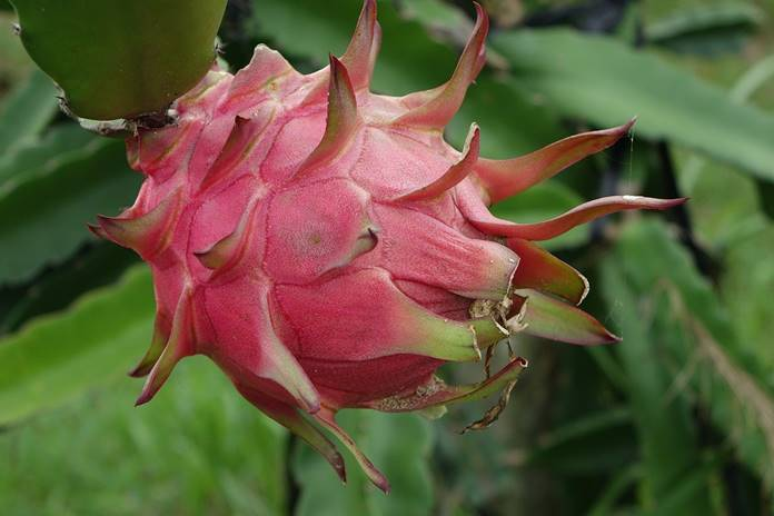 menanam buah naga