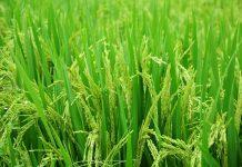 panen raya padi
