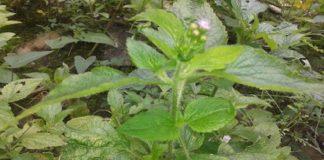 tanaman liar