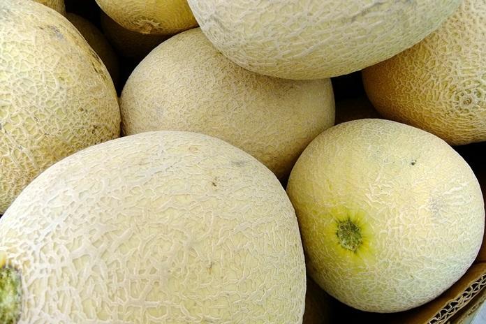 menanam bibit melon