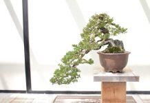 menilai kualtas bonsai