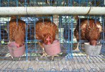 harga ayam dan telur