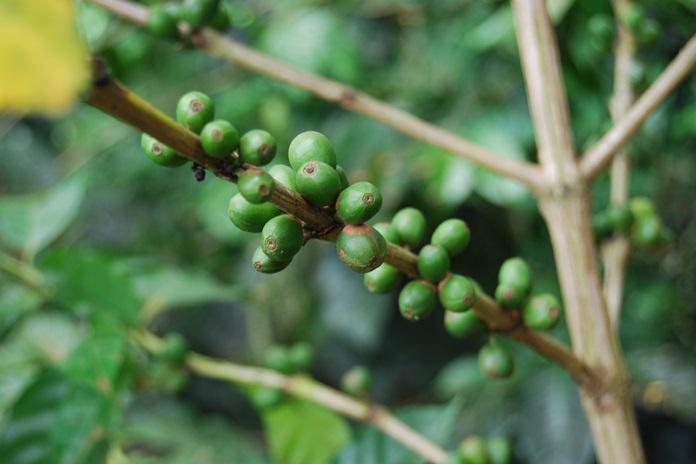 hama tanaman kopi