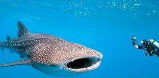 desa wisata hiu paus