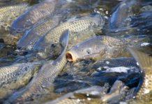 pembenihan ikan mas