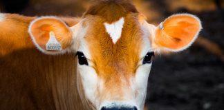 bisnis penggemukan sapi