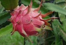 menanam pohon buah naga