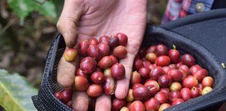 proses roduksi kopi luwak
