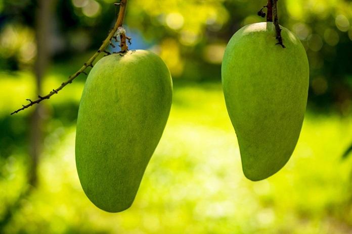 buah musim kemarau