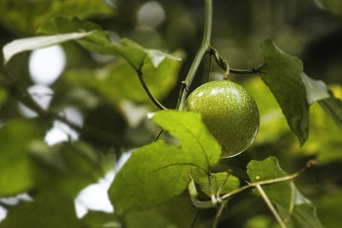 tanaman markisa