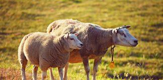 penggemukan domba