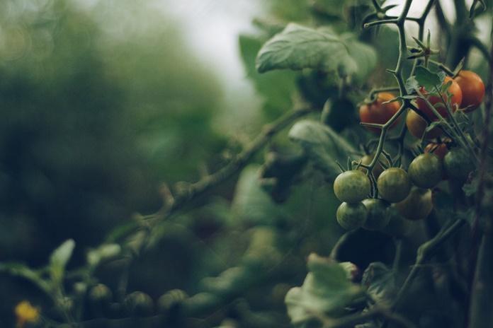 menanm tomat