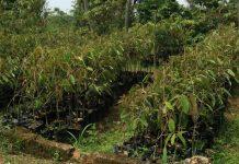 tanaman buah dataran rendah