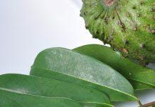 ramuan daun sirsak