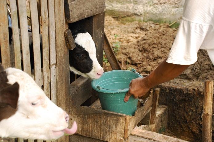 mencegah sapi terkena penyakit