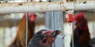 kanibal ayam kampung