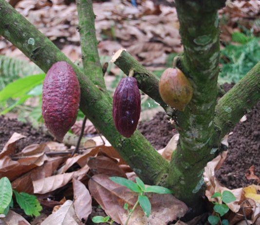 lahan kebun cokelat