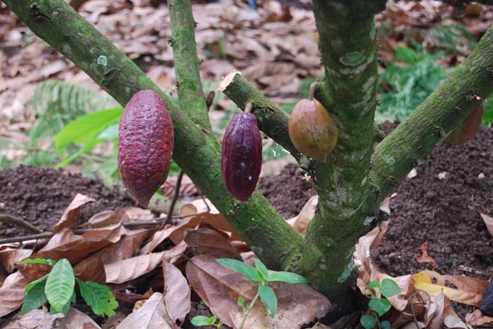 penggerek buah cokelat