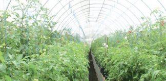 hama tanaman tomat