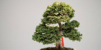 pupuk bonsai