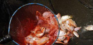 cara panen ikan nila